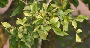 10 प्रमुख औषधि गुर्दे की पथरी के लिए | 10 pramukh Aushadhi Gurde ki pathri (kidney stone) ke liye